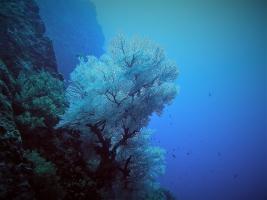 Schwarze Koralle