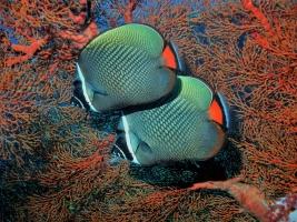 Falterfisch (Chaetoton collare)