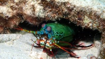 Bunter Schmetter-Fangschreckenkrebs