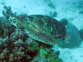 Meeres-Seeschildkröte