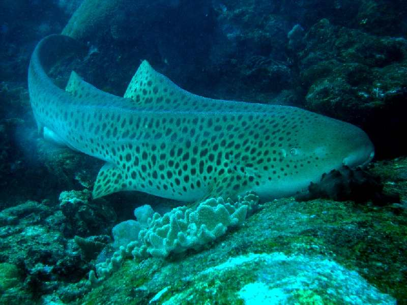Leopardenhai01